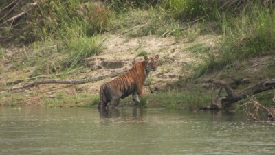 Tiger in bardia