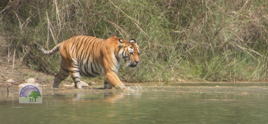 Nepal Tiger Safari Tour